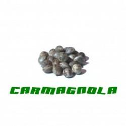 Graine de chanvre Carmagnola