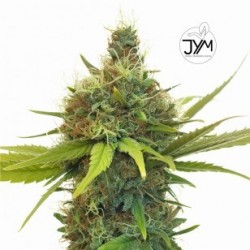 JYM Geenie CBD Seeds 3x Graines