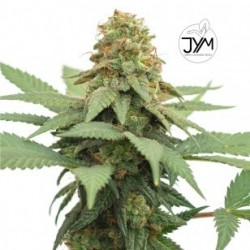 JYM Big Berry CBD Seeds 3x Graines
